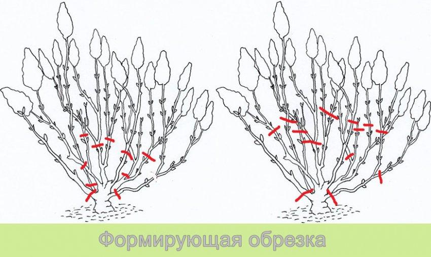 Формировка метельчатой гортензии