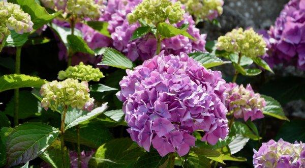 Гортензия крупнолистная: описание и сорта растения