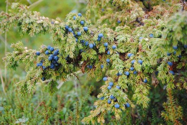 Лечебные свойства и противопоказания плодов можжевельника. Как приготовить отвар можжевельника? Особенности произрастания куста этого растения.