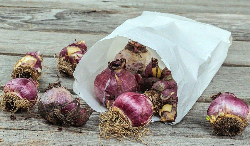 Хранение луковиц