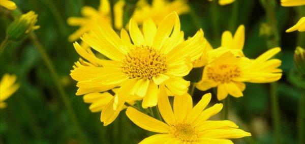 Арника горная: что это за растение, где растёт и как выглядит, фото, состав цветка