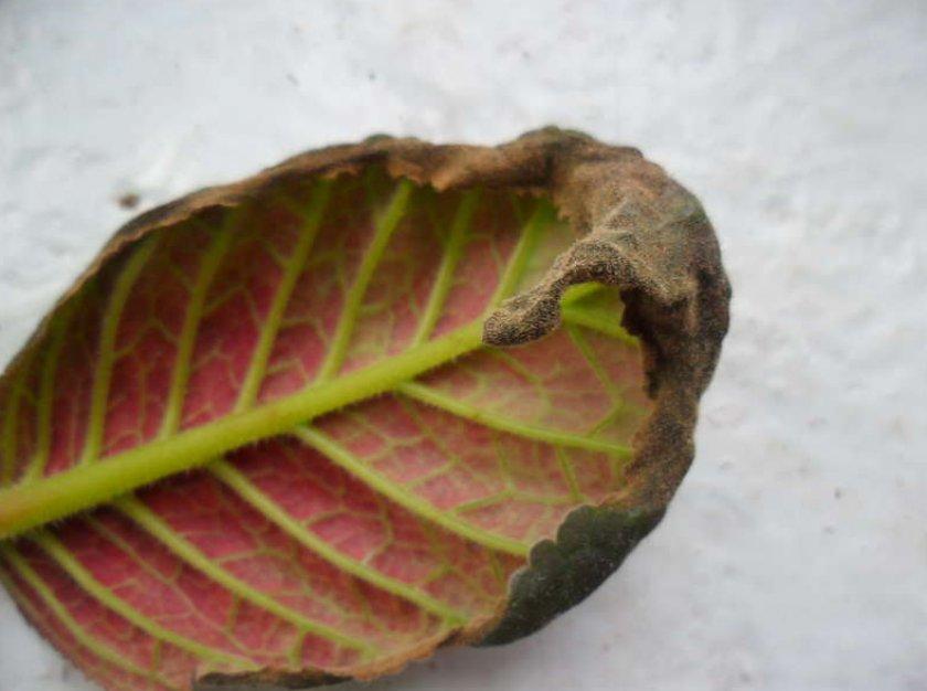 Покраснели листьях у глоксинии