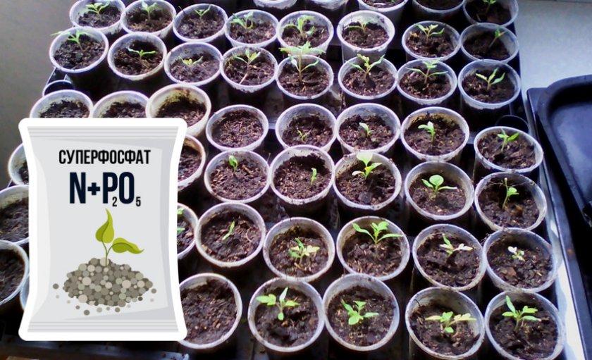 Выращивание сеянцев гиацинта