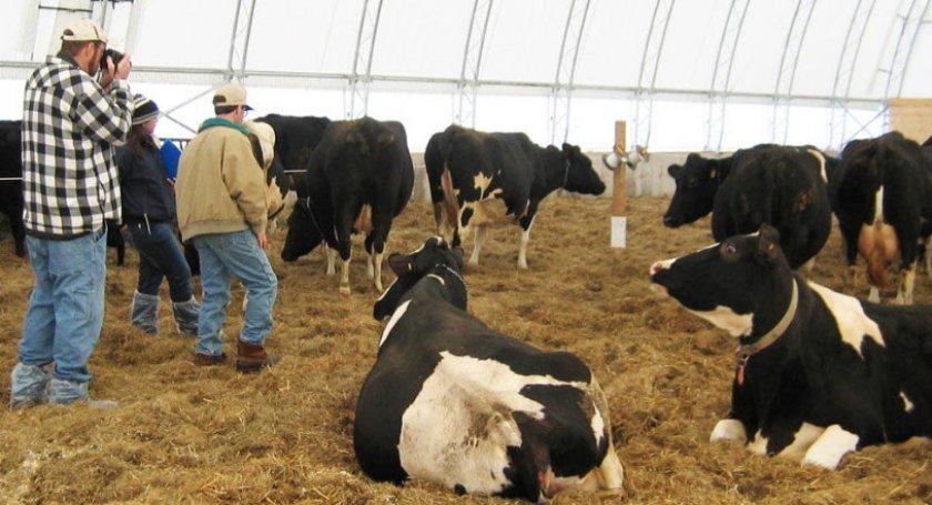 Коровы на подстилке