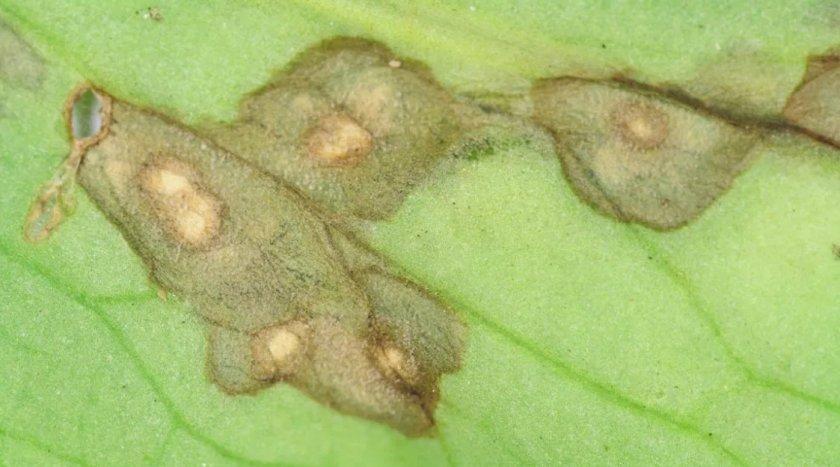 Пятнистость листьев примулы