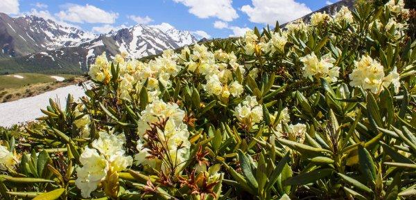 Рододендрон кавказский лечебные свойства