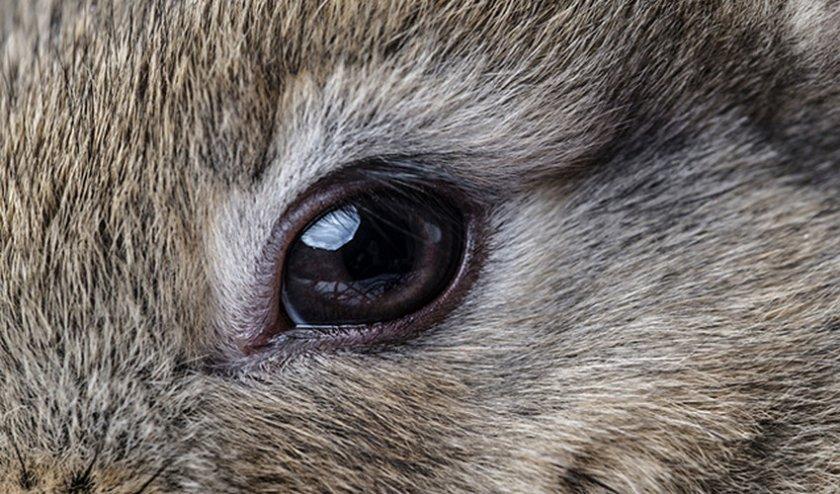 Гноятся глаза у кролика