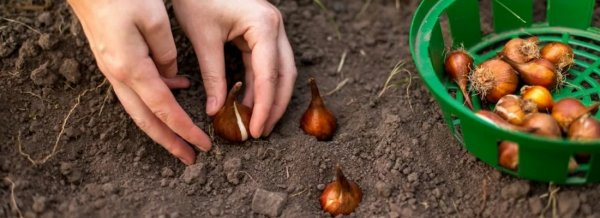 Когда высаживать тюльпаны осенью в сибири
