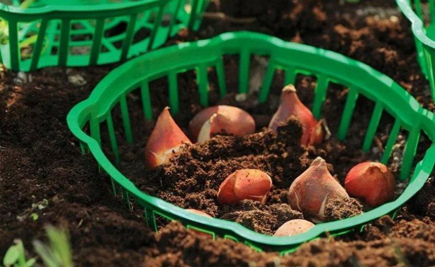 Высадка тюльпанов в корзину