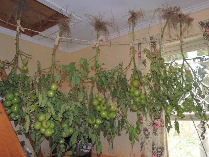 Способ хранения зелёных помидор