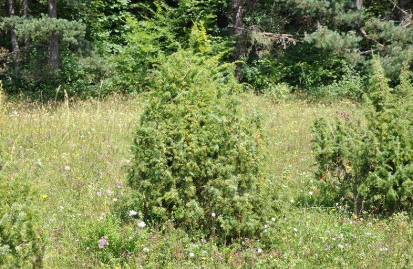 Можжевельник лесной