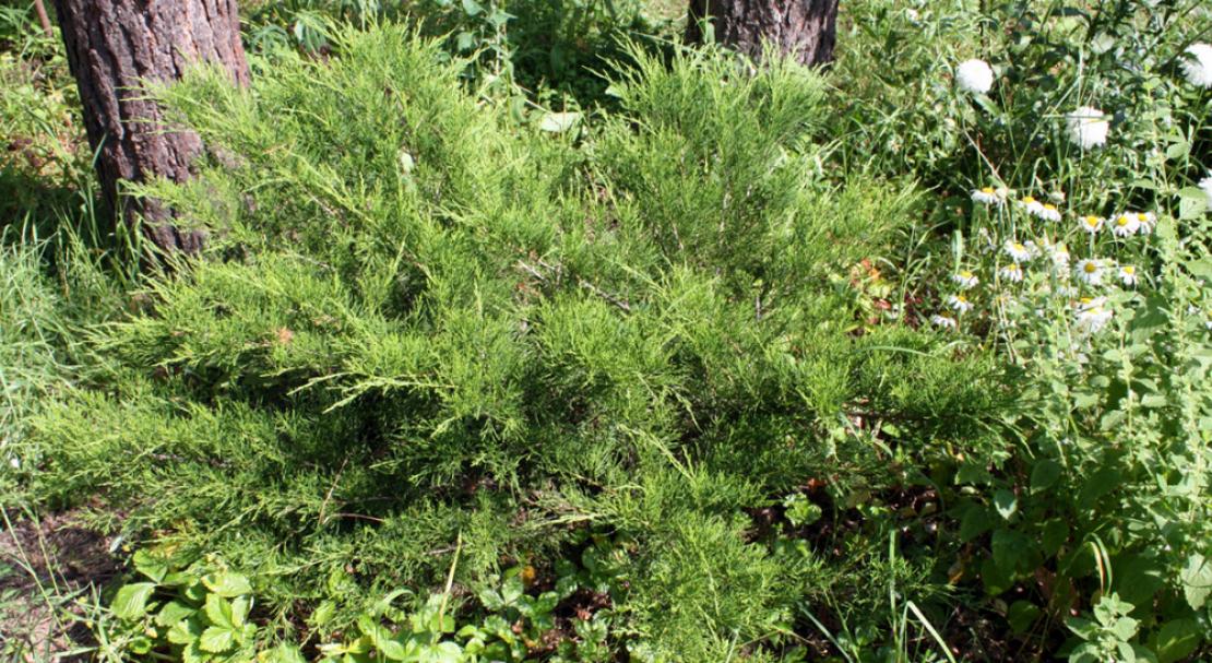 Можжевельник из леса посадка и уход в открытом грунте
