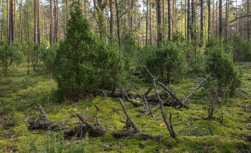 Можжевельник в лесу