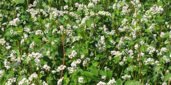 Гречиха как сидерат: когда сеять и закапывать, как применять в сельском хозяйстве, вред, польза и правила посадки гречки как удобрения