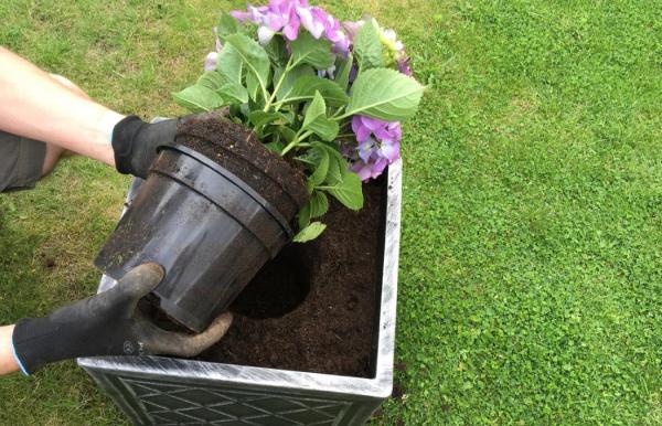 Гортензия садовая посадка и уход в открытом грунте