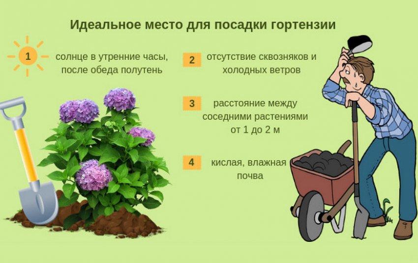 Место для выращивания гортензии