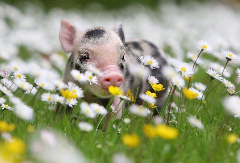 Правительство Нидерландов инициирует закрытие свиноферм