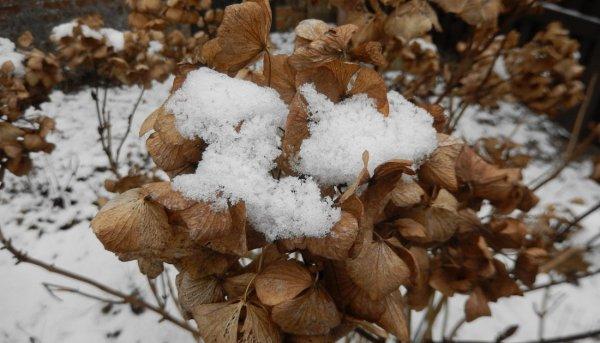 Правила укрытия гортензии на зиму