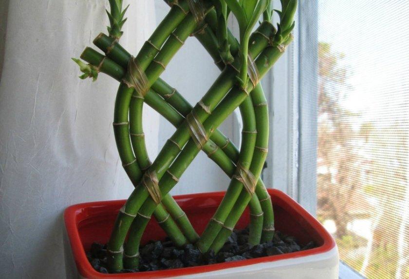 Выращивание драцены в грунте