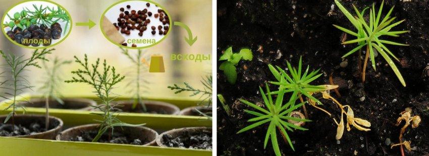 Выращивание можжевельника из семян