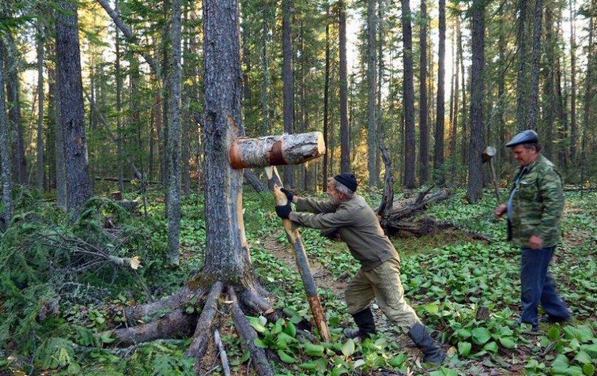 Сбивание шишек кедра с дерева