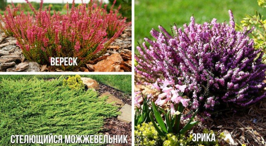 Растения, высаживаемые вместе с рододендроном для альпинария