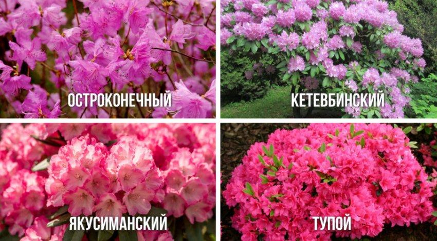 Виды рододендрона с ранним сроком цветения