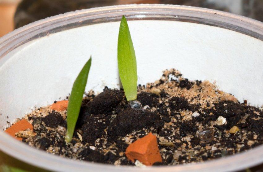 Первые ростки алоэ