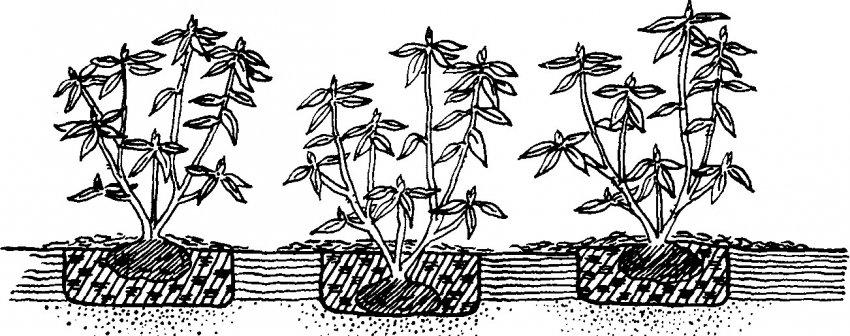Правильная глубина посадки рододендрона