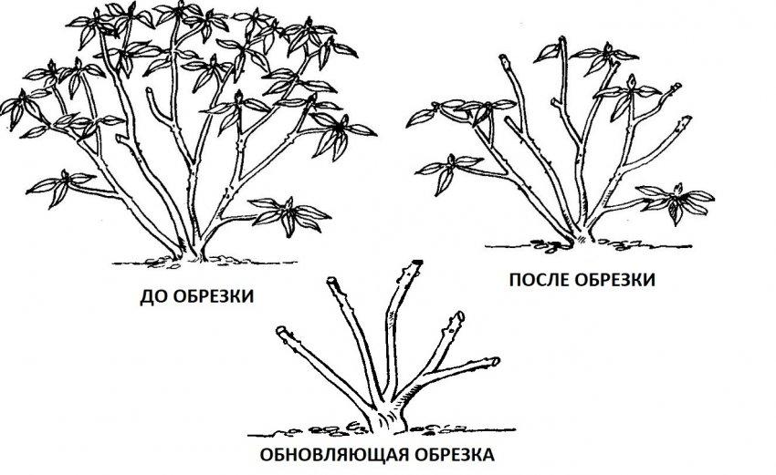 Обрезка рододендрова