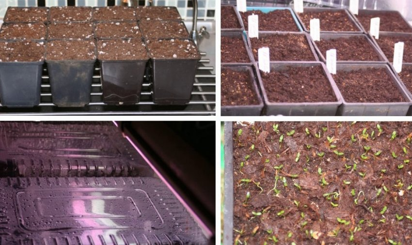 Выращивание рододендрона из семян
