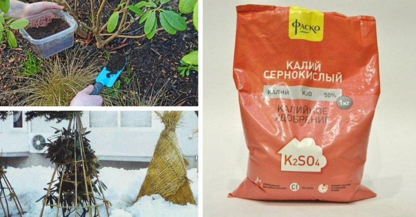 Удобрение рододендрона и укрытие на зиму