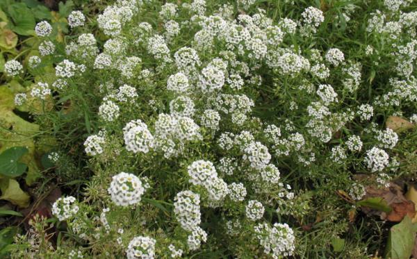 алиссум выращивание в открытом грунте рассадой
