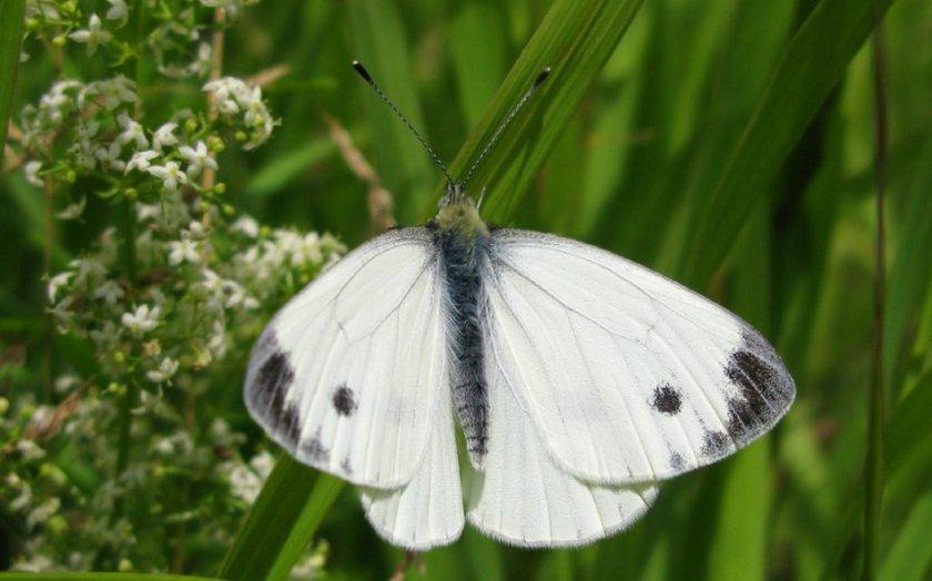 Бабочки-белянки