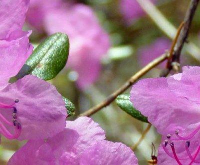 Описание рододендрона Ледебура, посадка и уход за ним
