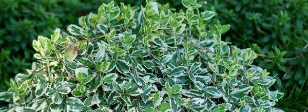 Бересклет с желто зелеными листьями
