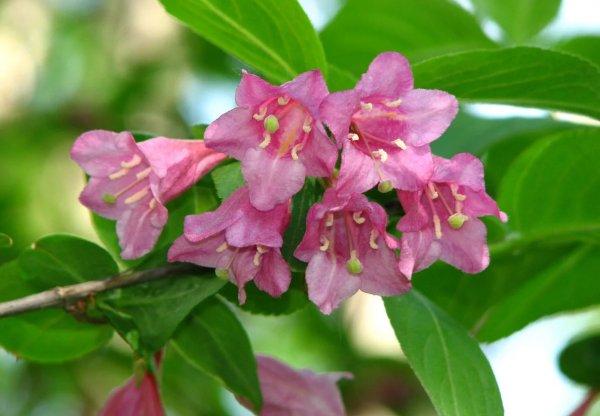 Вейгела цветущая: посадка и уход в открытом грунте