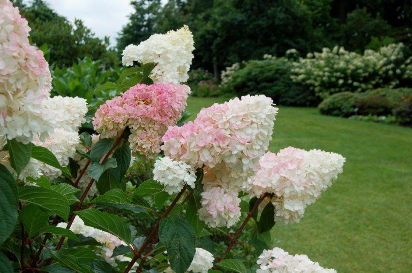 Гортензия метельчатая садовая