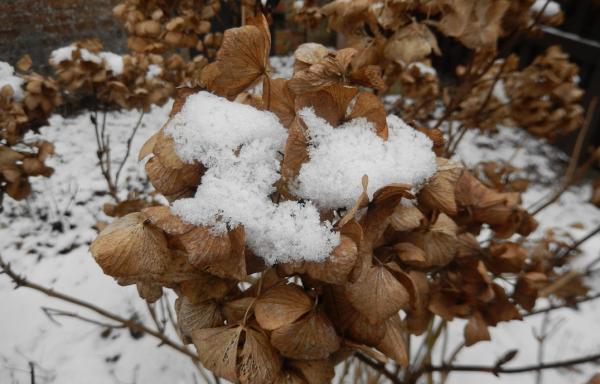 Гортензия метельчатая уход на зиму