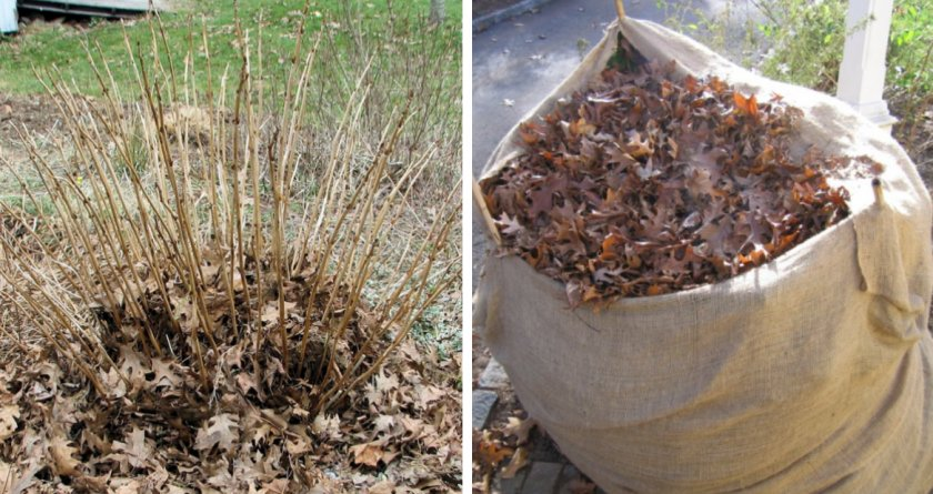 Укрытие гортензии листьями