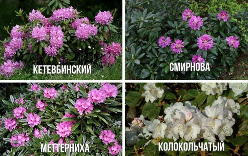 Виды рододендрона
