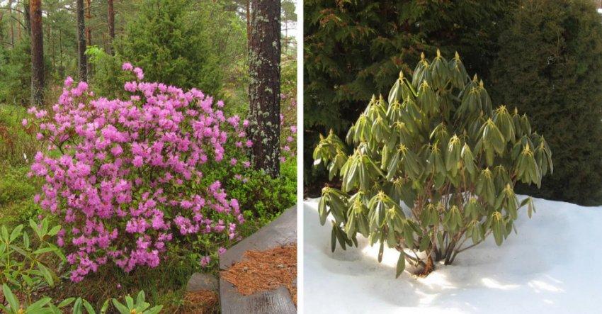 Куст рододендрона летом и зимой