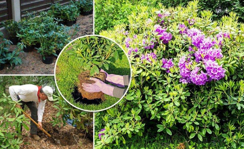 Место посадки рододендрона