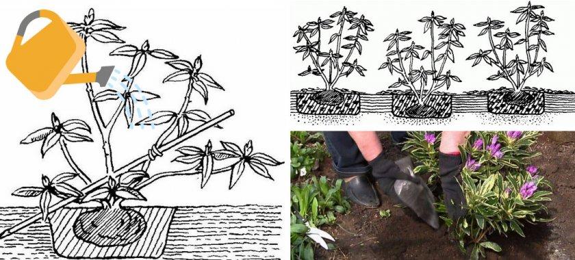 Посадка рододендрона