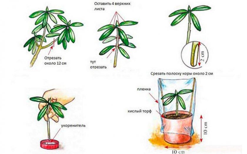 Размножение рододендрона черенками