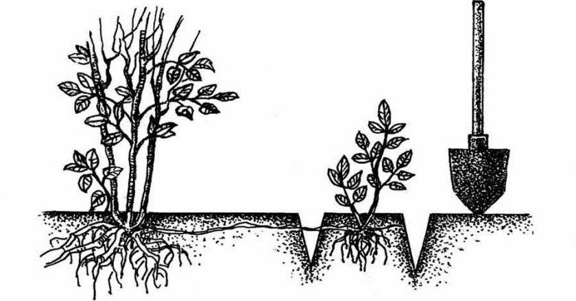 Размножение корневым отпрыском