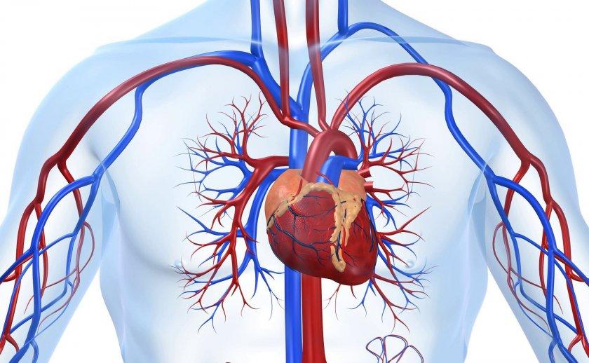 Корень бадана для сердечно-сосудистой системы