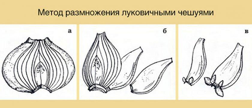 Размножение чешуйками