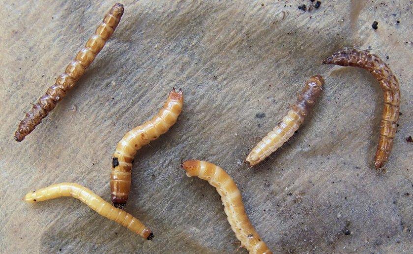 Личинки жука-щелкуна