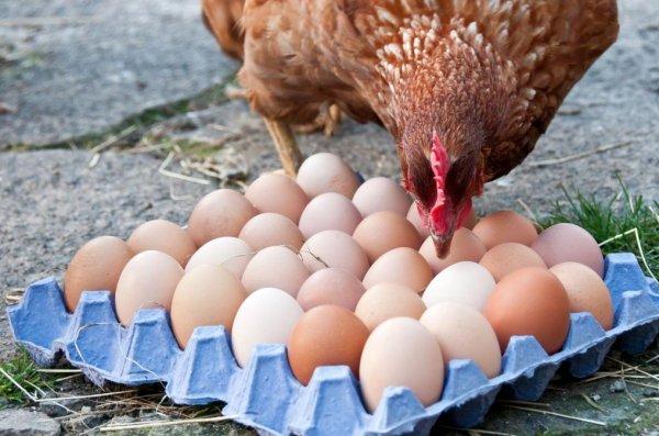 Почему куры несут яйца с кровью